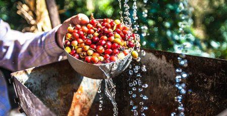 فرآوری شسته قهوه